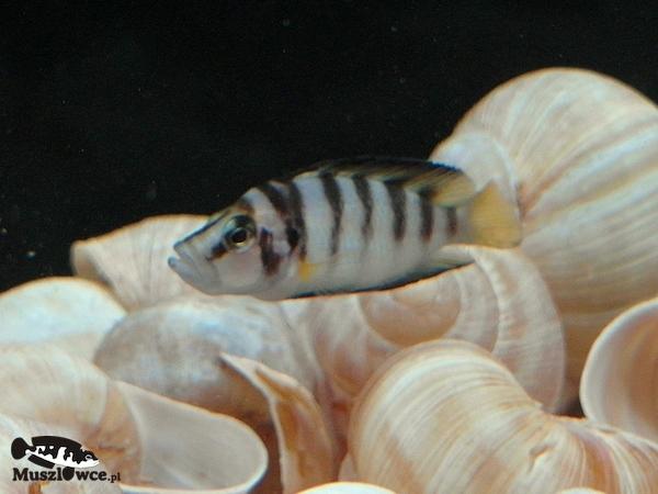 Samica Altolamprologus compressiceps shell. Jeśli chcesz wykorzystać to zdjęcie, poproś o zgodę. If you would like to reproduce this photo, request for apermission.