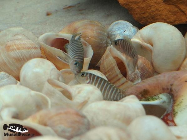 Lamprologus-similis - walka