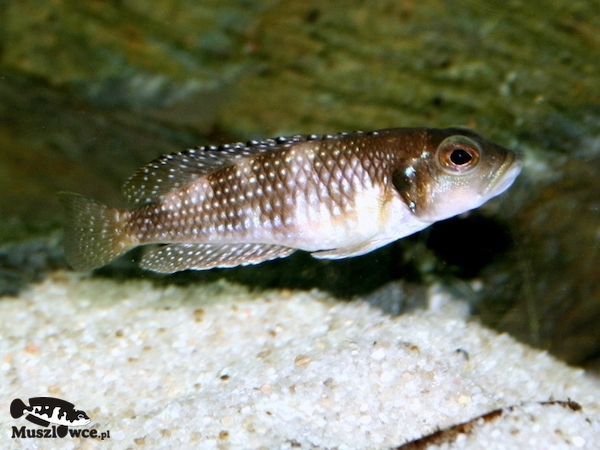 Lamprologus meleagris - samica