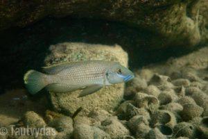 Lamprologus callipterus w naturze © Tautvydas Pangonis