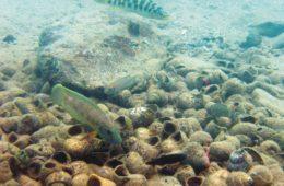 Niecka w naturze © Koblmüller et al BMC Evolutionary Biology 2007